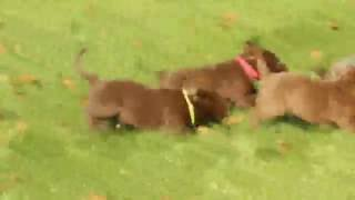 Download Chocolate Labrador Retriever Puppies For Sale Video