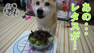 Download 柴犬小春 苦手なレタスをのけてほしい柴犬の顔はこんな感じ Video