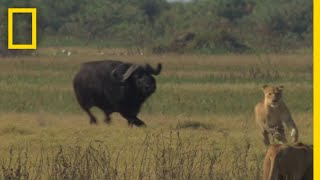 Download Buffalo Bull Chase - The Last Lions Deleted Scenes | National Geographic Video