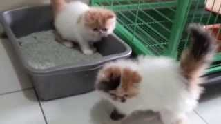 Download Anak Kucing Persia Belajar Pup Video