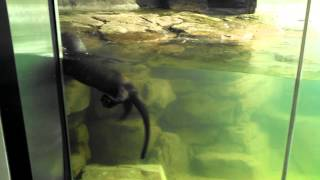 Download Giant River Otter - Live Feeding Video