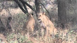 Download Lioness Takes a Baby Baboon From A Tree Top (African Safari Videos) Video