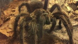 Download Handling und Aggressivität von Vogelspinnen Video