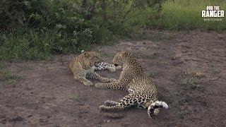 Download Leopard Family, Part 39 Video