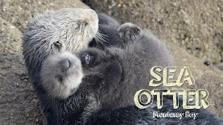 Download Sea Otter Baby in Monterey Video