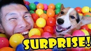 Download SURPRISING My CORGI Dog w/1000 BALLS || Life After College: Ep. 564 Video
