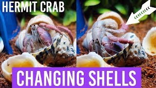 Download Hermit Crab Changing Shells | On Camera Video