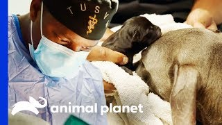Download Dr Blue Helps Deliver Puppies With Emergency C-Section | The Vet Life Video