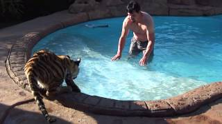 Download Why do tigers get in the water in the first place ? Video