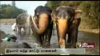 Download Wild Elephants enter Elephant camp Video