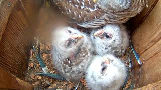 Download Owlets Growing Everyday On Barred Owl Cam – April 23, 2018 Video