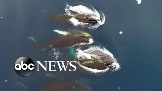 Download Antarctic whales an indicator for world environmental health, scientists say: Part 2 Video
