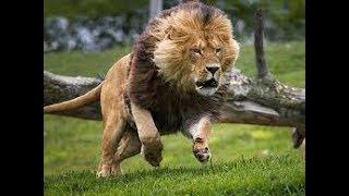 Download The Pride of VUMBI lion - Lion Gangland - Nat Geo Wild HD Video