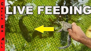 Download FEEDING PET BASS LIVE BULL FROG and Live Eel in Amazing Homemade Pool Pond Video