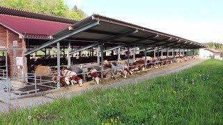 Download Wenn drinnen draußen ist – Kühe im Offenstall Video