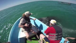 Download Gray Whales San Ignacio Lagoon Mexico Video