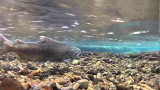 Download Wild Salmon Spawning May 2013 Video