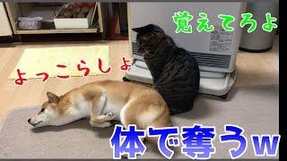 Download やられたらやり返す!が、その方法が笑っちゃう!そんな柴犬ハナと猫クロを集めました! - Shiba and cat.- Video