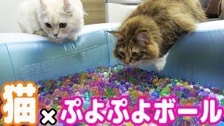 Download 猫とぷよぷよボール風呂で遊んだら珍プレー連発したw Video