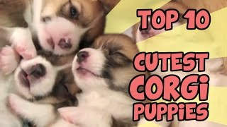 Download TOP 10 CUTEST CORGI PUPPY VIDEOS OF ALL TIME Video