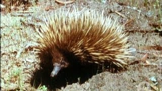 Download The echidna (or spiny ant-eater) (1969) Video