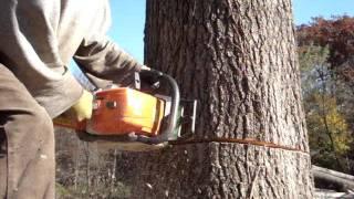 Download stihl chainsaw cutting big oak tree down ms-290 farmboss Video