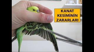 Download Kuşlarda Kanat Kesimi ve Zararları Video