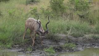 Download Big male kudu gets down and dirty in African mud! Video