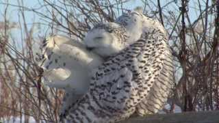 Download Snowy Owl Invasion Video