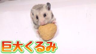 Download 巨大くるみを丸ごと食べるハムスターがマジでかわいい!! Video