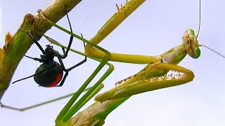 Download Giant Praying Mantis Found Redback Spider Vs Mantis Fight Preview Who Will Die? Video