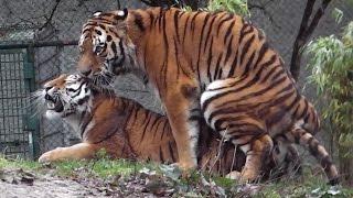 Download Sibirische Tiger Ahimsa und Jegor - Ttierpark Hellabrunn Video