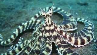 Download Live Footage Of Mimic Octopus [HD] Video