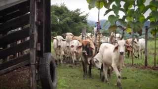 Download Vacas felices ayudarán a salvar el planeta. Agricultura inteligente en Costa Rica Video