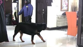 Download Will Rottweiler protect his home and family? Video