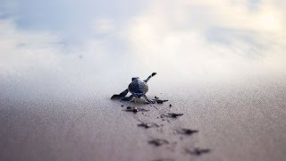 Download Baby Turtles Race to the Sea in Oaxaca, Mexico Video