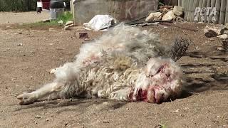Download Cabras lanzadas, cortadas y asesinadas por su lana mohair, ¡ayúdalas ahora mismo! Video