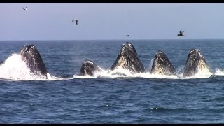 Download Best of Whale Watching, Monterey California as of 7.16.2016 Video