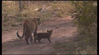 Download Pt 1 Safari Live's Sunrise Safari Drive at 5:30 AM on Jan 21, 2018 ( Lions & Thandi/Cub ) Video