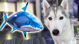 Download DOGS REACT TO RC SHARK | Shark Week 2017 | Husky vs Shark Video