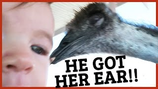 Download BABY ATTACKED BY EMU‼️ Video