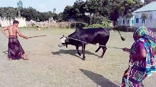 Download Humorous Big Cow Preparing For Qurbani Video