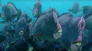 Download What Does a Humphead Parrotfish Eat?   Blue Planet   BBC Earth Video