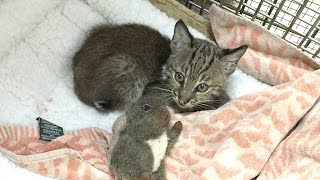 Download VERY CUTE!! Baby Bobcat's Nightly Playtime Video