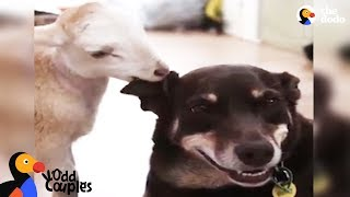 Download Dogs Love Their Rescue Cats, Lambs, and Bunnies | The Dodo Odd Couples Video