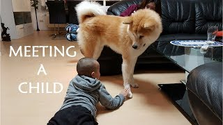 Download Akita Inu - Meeting a Child Video