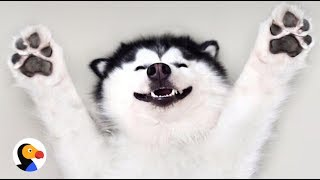 Download Happy Husky Dog Is Always Smiling | The Dodo Video