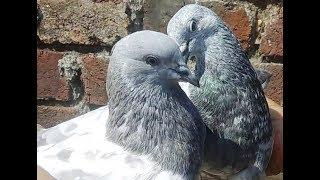 Download Bhopal Pigeons Of Tariq Bhai urf Kasni King Video
