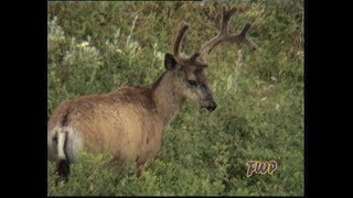 Download Antler Growth Video