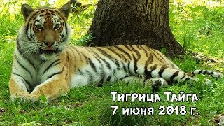 Download Тигрица Тайга 7 июня 2018 г. Video